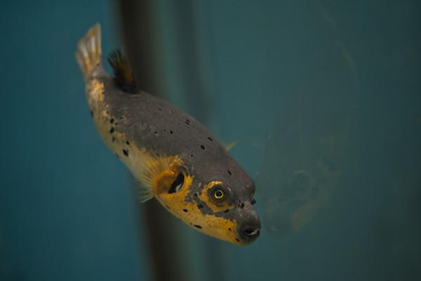 Mit seiner orangen Färbung sieht der schwarz gepunktete Kugelfisch zwar appetitlich aus – aber man sollte tunlichst die Essstäbchen von ihm lassen. Arothron nigropunctatus , auf Englisch auch dog-faced puffer genannt, gehört zu jenen Vertretern der Kugelfisch-Familie, an denen alles giftig ist. (Ocean World, Fukoaka, April 2013)
